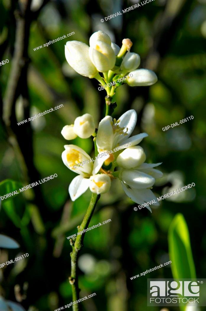 Stock Photo: Tahiti lemon flower, Citrus Latifolia, Santo Antônio do Pinhal, São Paulo, Brazil.
