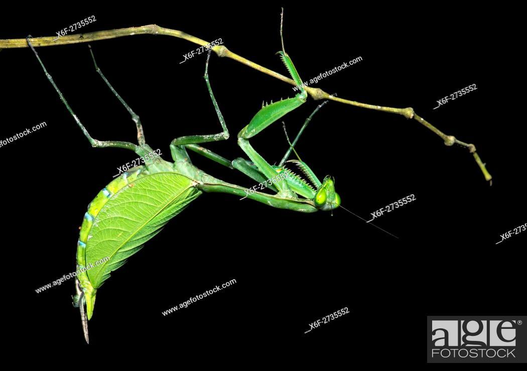 Neotropical Praying Mantis Female Mantises Family Mantidae