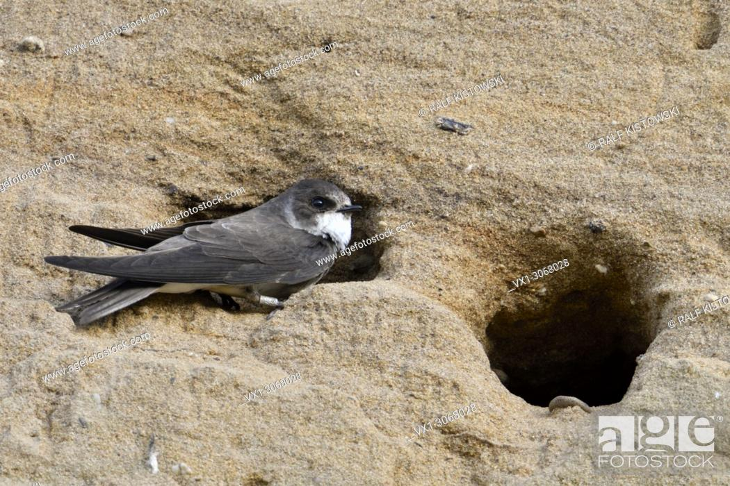 Stock Photo: Sand Martin / Bank Swallow ( Riparia riparia ) perched at its nest hole, ringed bird, in a sandy cliff of a sand pit, wildlife, Europe.