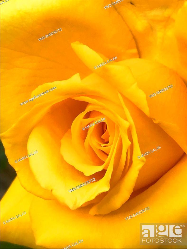 Stock Photo: Yellow rose. Close view.