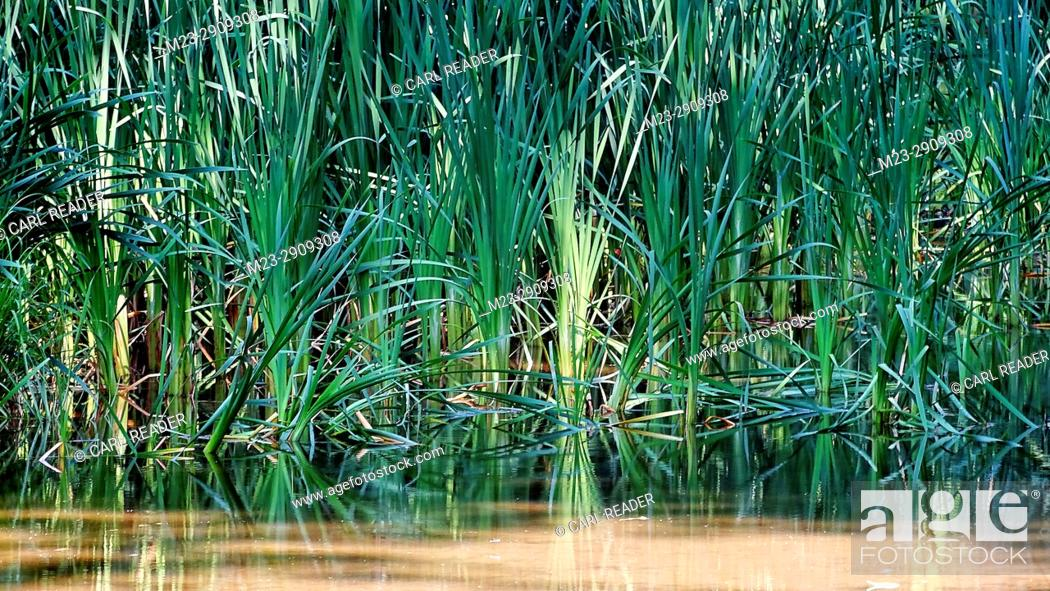 Stock Photo: Talls grasses find a home in a canal, Pennsylvania, USA.