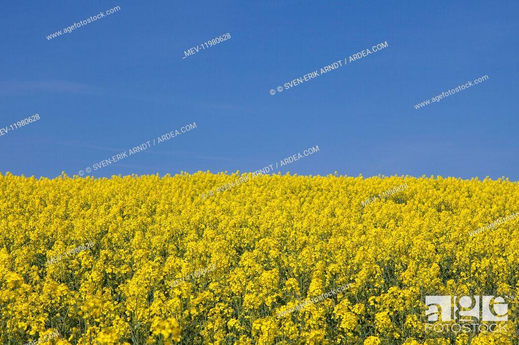 Stock Photo: Rape field in full flower Germany.
