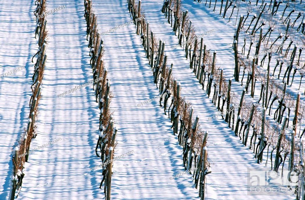 Stock Photo: weinviertel, austria, calf, cold, culture, landscape, Lower Austria.