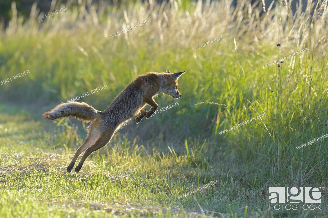 Imagen: Jumping red fox (Vulpes vulpes) on mowed meadow, Hesse, Germany, Europe.