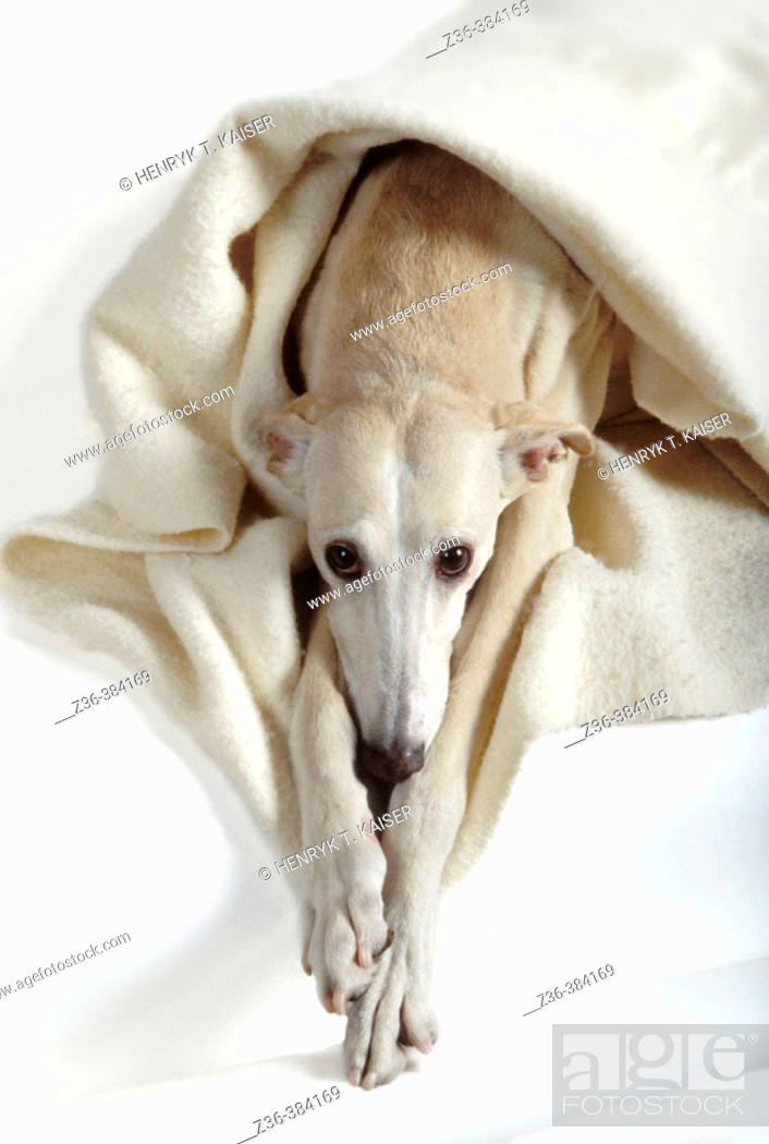 Stock Photo: Polish Hound with blanket.