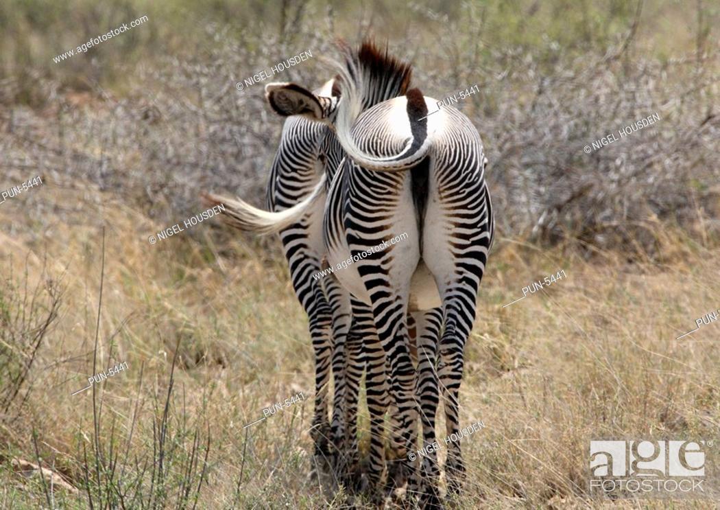 Stock Photo: Pair of grevys zebra walking away into the bush.