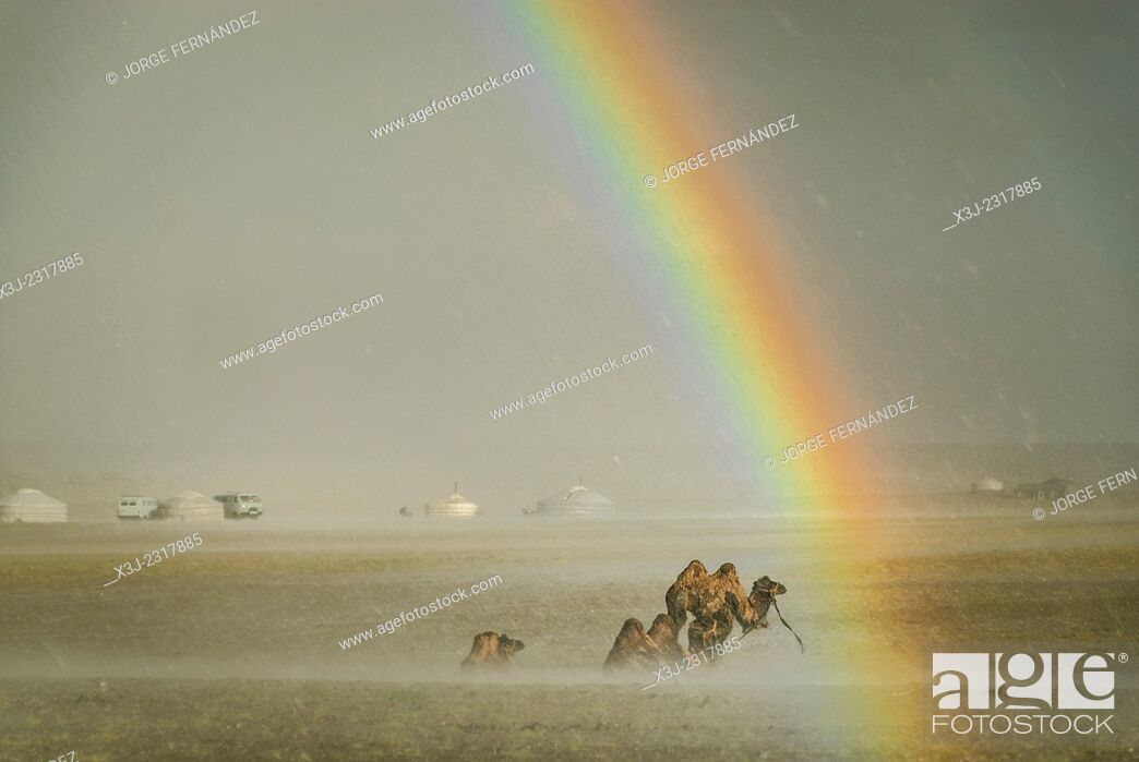 Stock Photo: Camels under the rain with rainbow, Gobi desert, Mongolia.