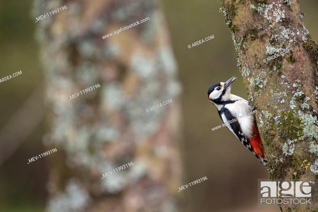 Stock Photo: Great Spotted Woodpecker - Male - Cornwall - UK.