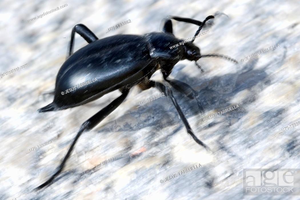 Stock Photo: Carabid and tenebrionid beetle Tenebrionidae, Heliofugus Lacticolis, Coleoptera, Polyphaga, Common name: Pepe.