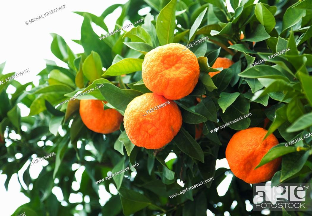 Stock Photo: Mandarines on tree.