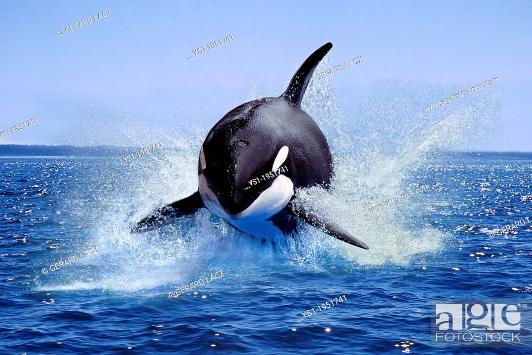 Stock Photo: Killer Whale, orcinus orca, Adult Leaping, Canada.