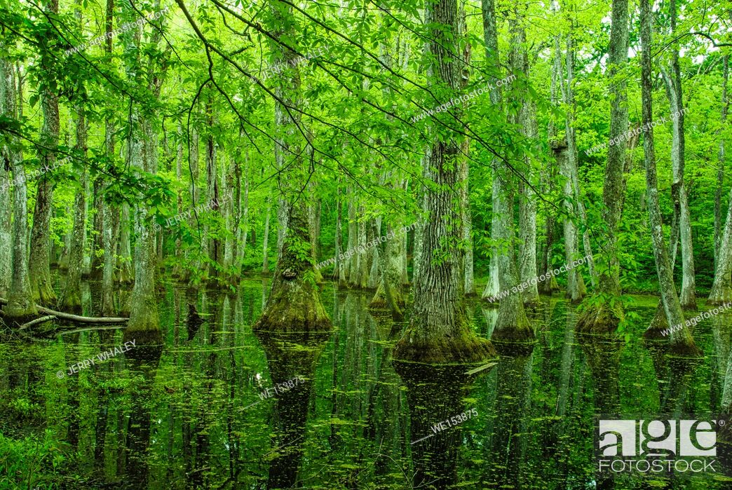 Stock Photo: Cypress Swamp on the Natchez Trace in Mississippi.