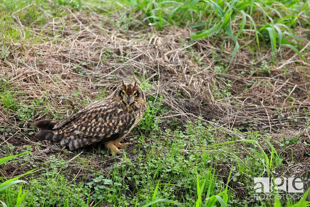 Imagen: short-eared owl (Asio flammeus), sitting on the ground, Germany.