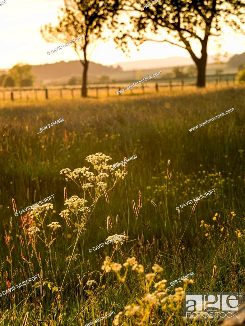 Stock Photo: flowers and grasses in a meadow, near Matlock, Derbyshire, Britain.