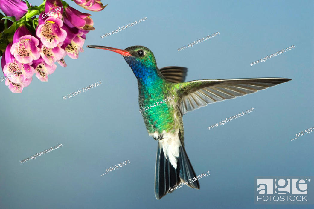 Stock Photo: Male Broad-billed Hummingbird (Cynanthus latirostris).