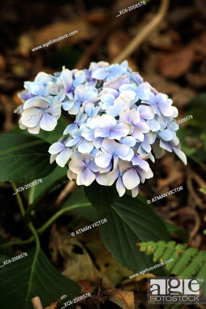Stock Photo: hydrangea flowers . Also known as mop head . North Tenerife island . spain.