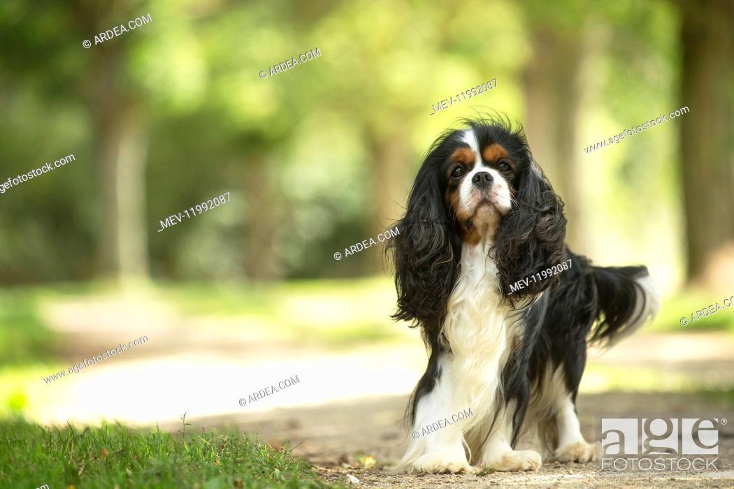 Stock Photo: Cavalier King Charles Spaniel Dog outdoors.