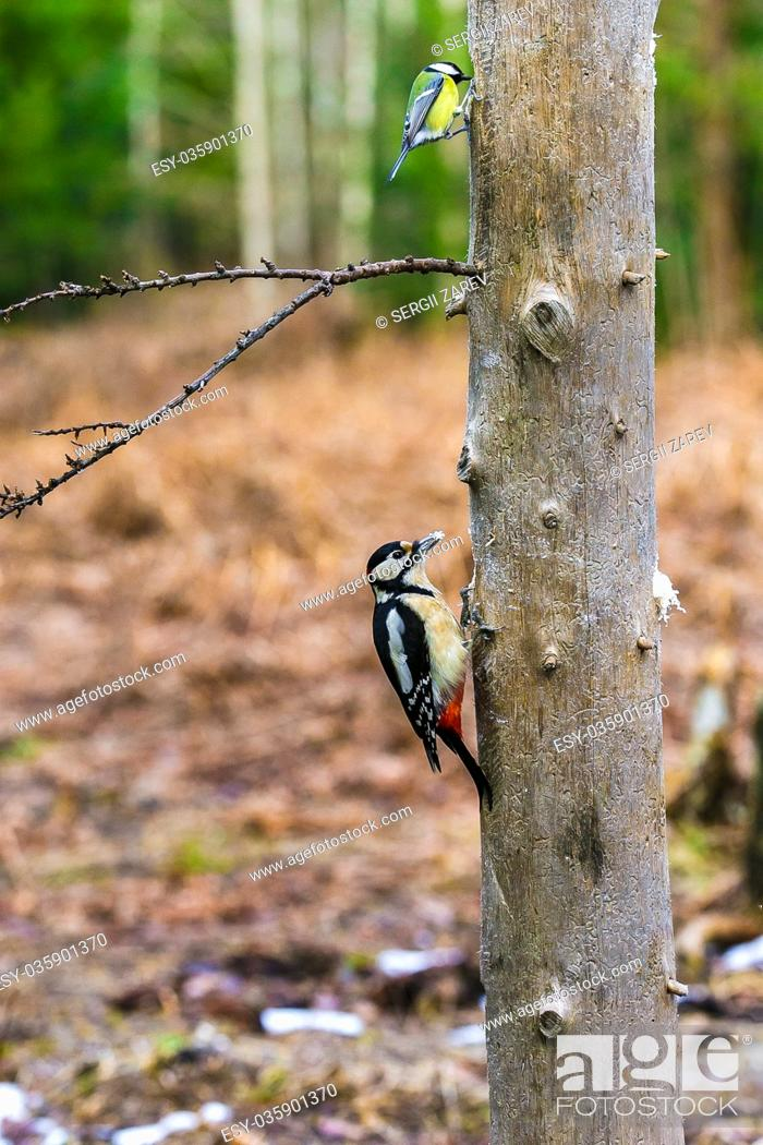 Stock Photo: Great Spotted Woodpecker sitting on a tree in a spring forest.