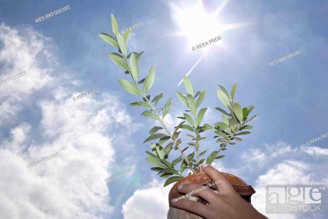 Stock Photo: Europe, Germany, North Rhine Westphalia, Duesseldorf, Hands holding an olive tree in air.