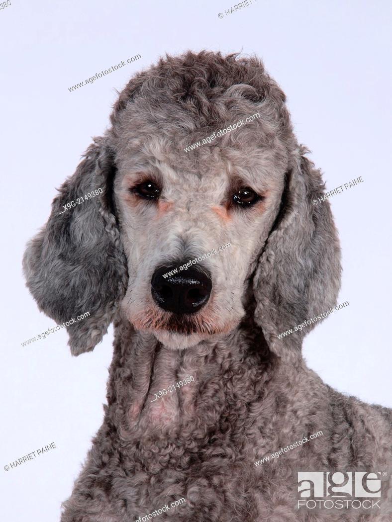 Stock Photo: Poodle.