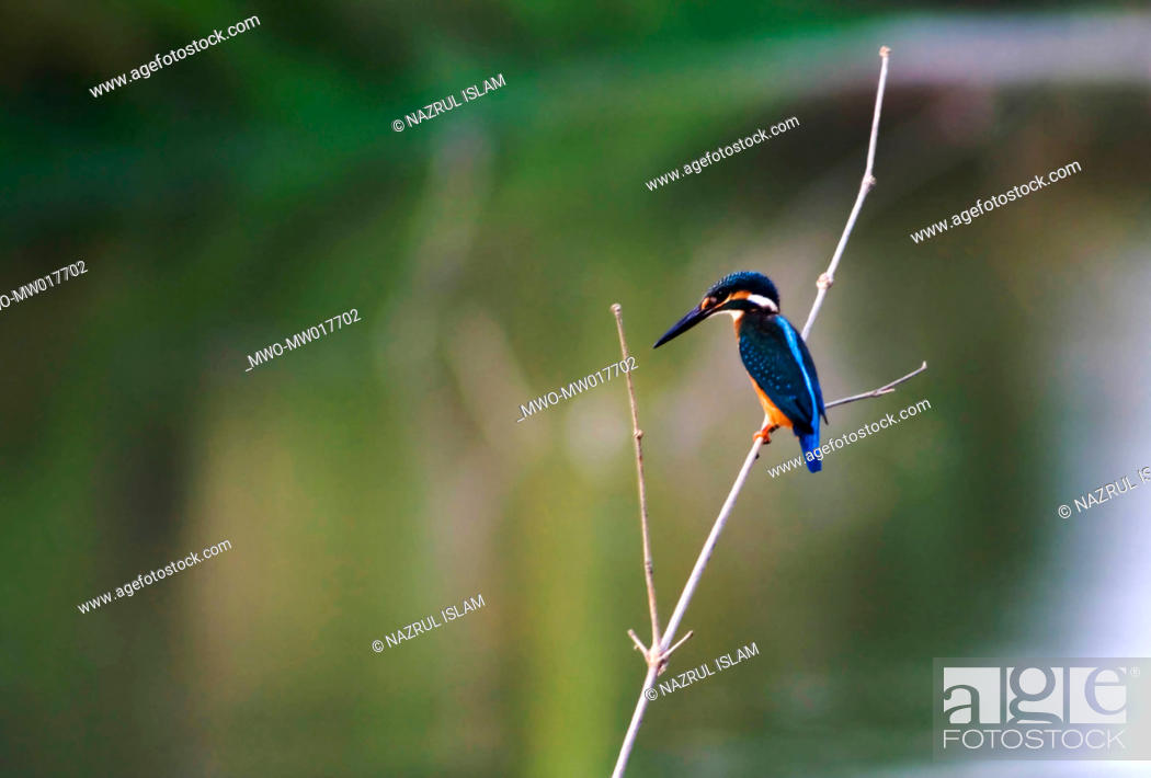 Stock Photo: A kingfisher Dumuria, Khulna, Bangladesh May 11, 2008.