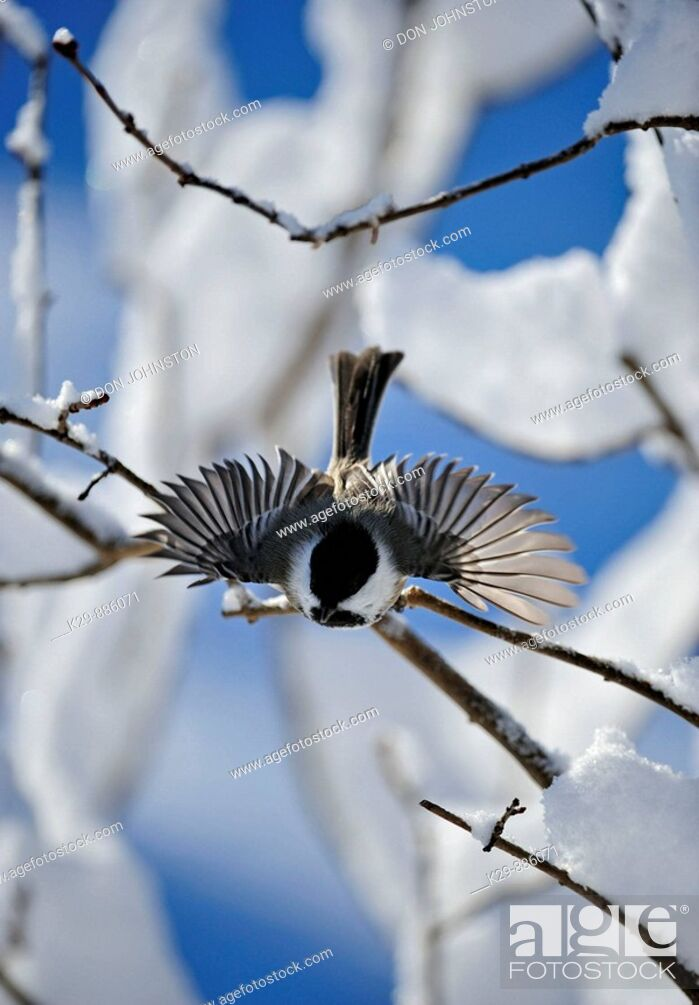 Stock Photo: Black capped chickadee Parus atricapillus Perching in snow covered lilac bush.
