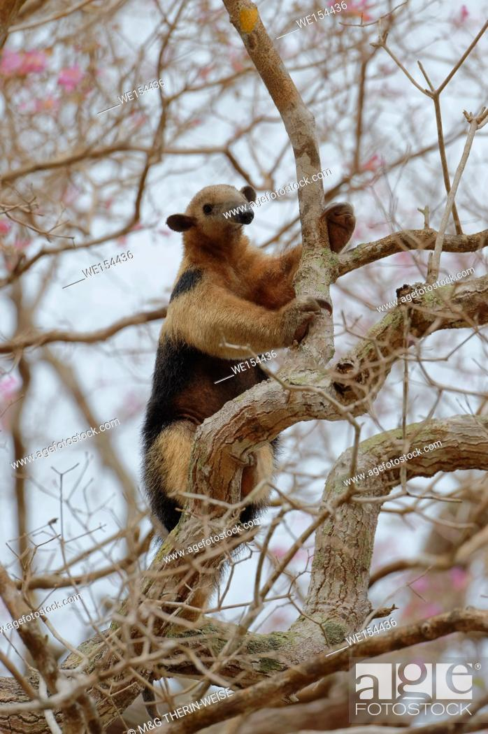 Photo de stock: Southern tamandua or collared anteater or lesser anteater (Tamandua tetradactyla) climbing on a tree, Pantanal, Mato Grosso, Brazil.