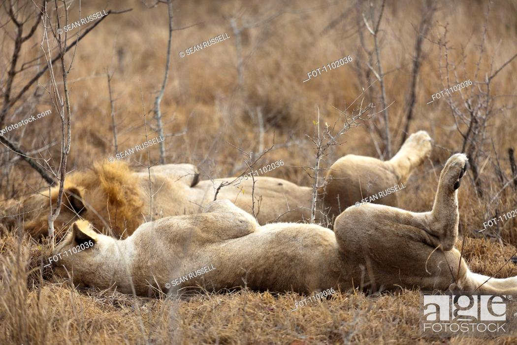 Stock Photo: A male and female lion lying side by side.
