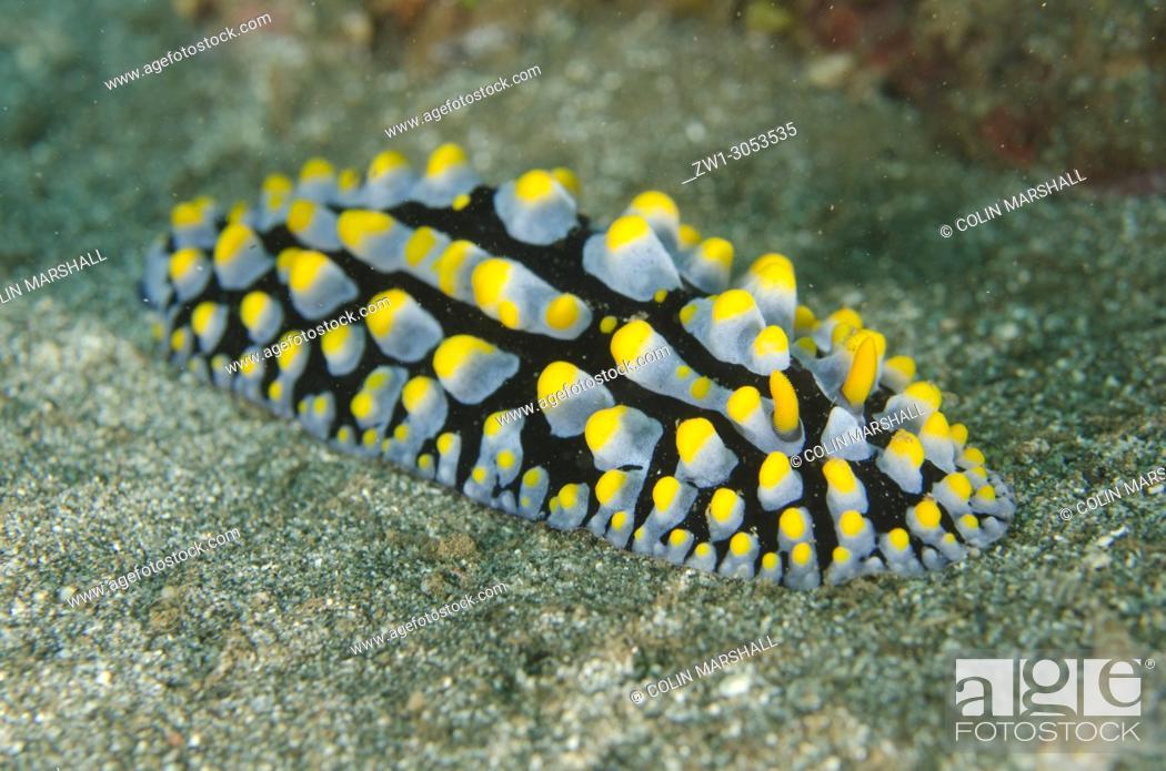 Imagen: Varicose Phyllidia Nudibranch (Phyllidia varicosa), Secret Garden dive site, Dili, East Timor (Timor Leste).