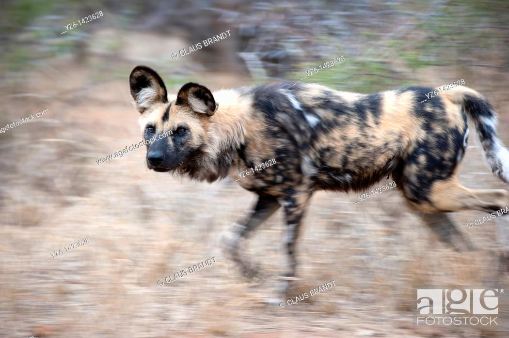 Stock Photo: African wild dog (Lycaon pictus) running through dry gras, Greater Kruger Park, South Africa.