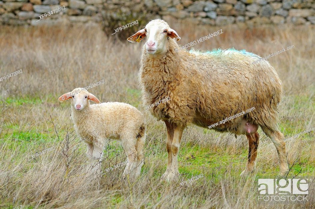 Stock Photo: Sheep and lamb. La Peña. Salamanca province. Castilla y León. Spain.