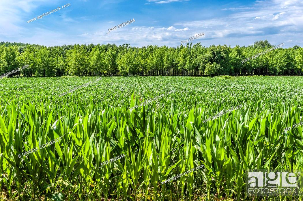 Stock Photo: France, Gironde, right side of the Garonne river, Entre-deux-Mers, cornfield and poplar plantation by the Garonne river in Saint-Macaire.