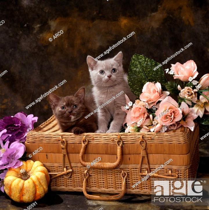 Stock Photo: British Shorthair Cats kittens blue and chocolate.