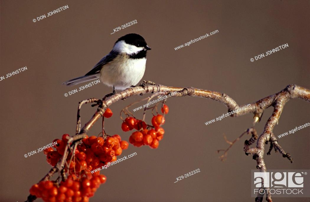 Stock Photo: Black-capped chickadee (Poecille atricapillus) in winter on mountain ash twig, Greater Sudbury, Ontario, Canada.