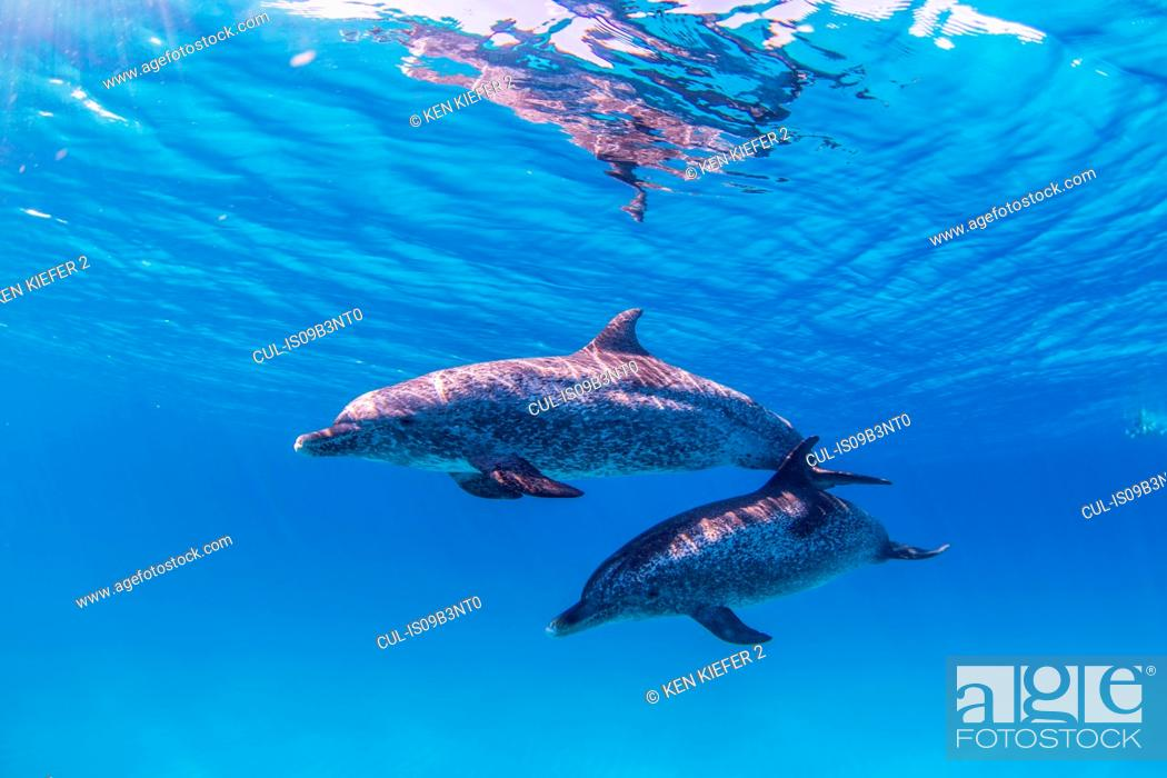 Stock Photo: Atlantic Spotted dolphins, underwater view.
