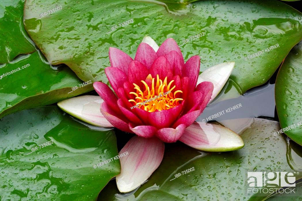 Stock Photo: Waterlily (Nymphaea hybrid).