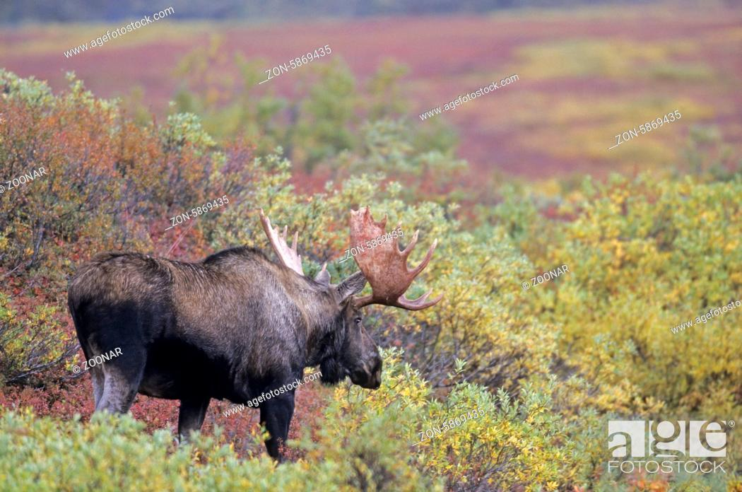 Stock Photo: Elchschaufler in der herbstlichen Tundra - (Alaska-Elch) / Bull Moose in indian summer in the tundra - (Alaska Moose) / Alces alces (gigas).