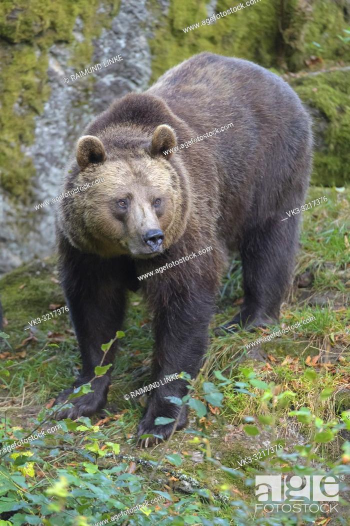 Stock Photo: Brown bear, Ursus arctos, Germany.