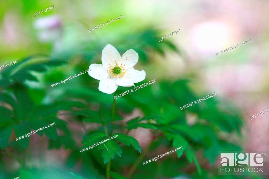 Stock Photo: Wood anemone Anemone nemorosa flowering in spring.