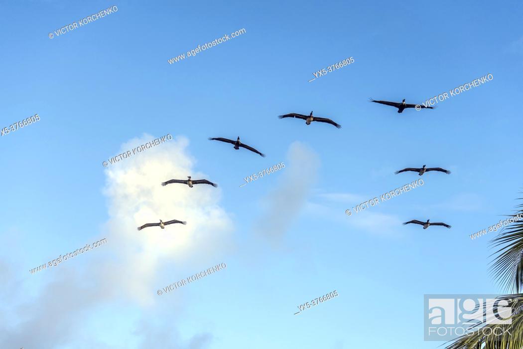 Imagen: Pelicans flying in V formation.