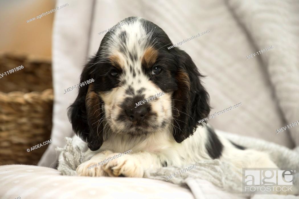 Stock Photo: English Cocker Spaniel Dog, puppy.