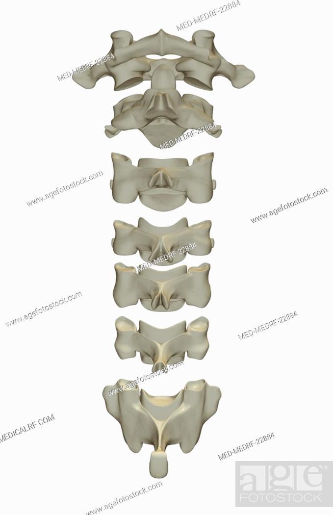 Stock Photo: The cervical vertebrae.