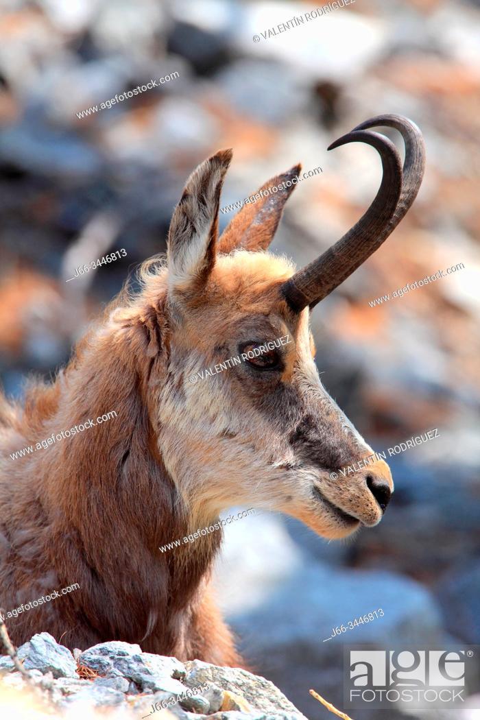 Stock Photo: Chamois (Rupicapra rupicapra) in the national park Gran Paradiso. Italy.