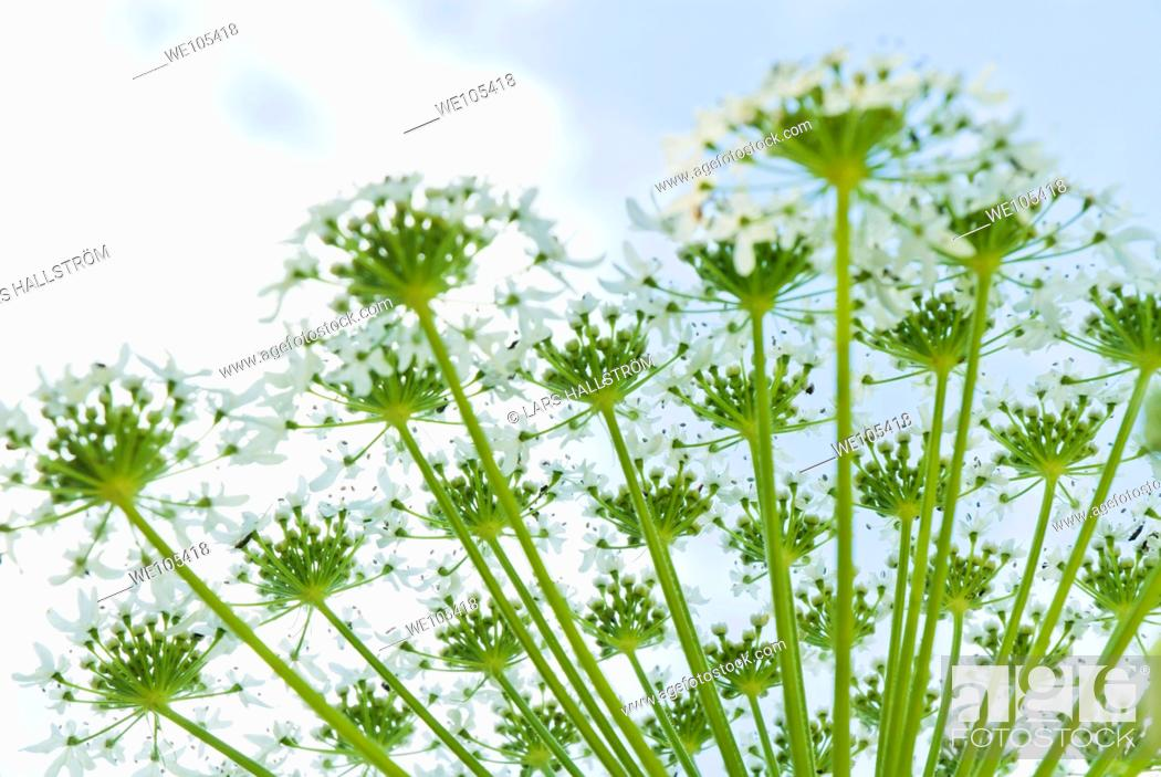 Stock Photo: Close-up of Common Hogweed Heracleum sphondylium, Sweden.