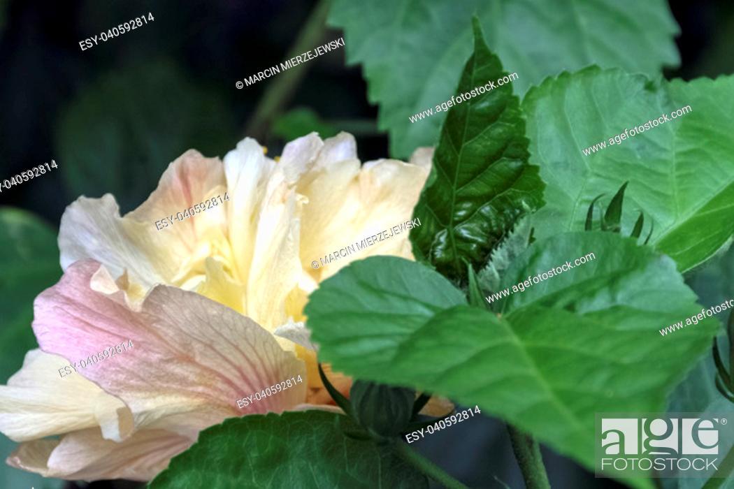 Stock Photo: Hibiscus rosa-sinensis, known as Chinese hibiscus, China rose, Hawaiian hibiscus, rose mallow and shoeblackplant - Varadero, Cuba.