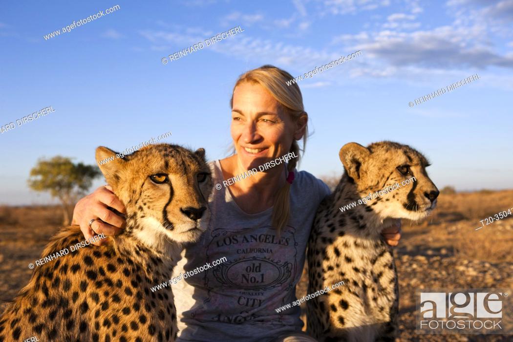 Photo de stock: Tourist and tame Cheetah, Acinonyx jubatus, Kalahari Basin, Namibia.