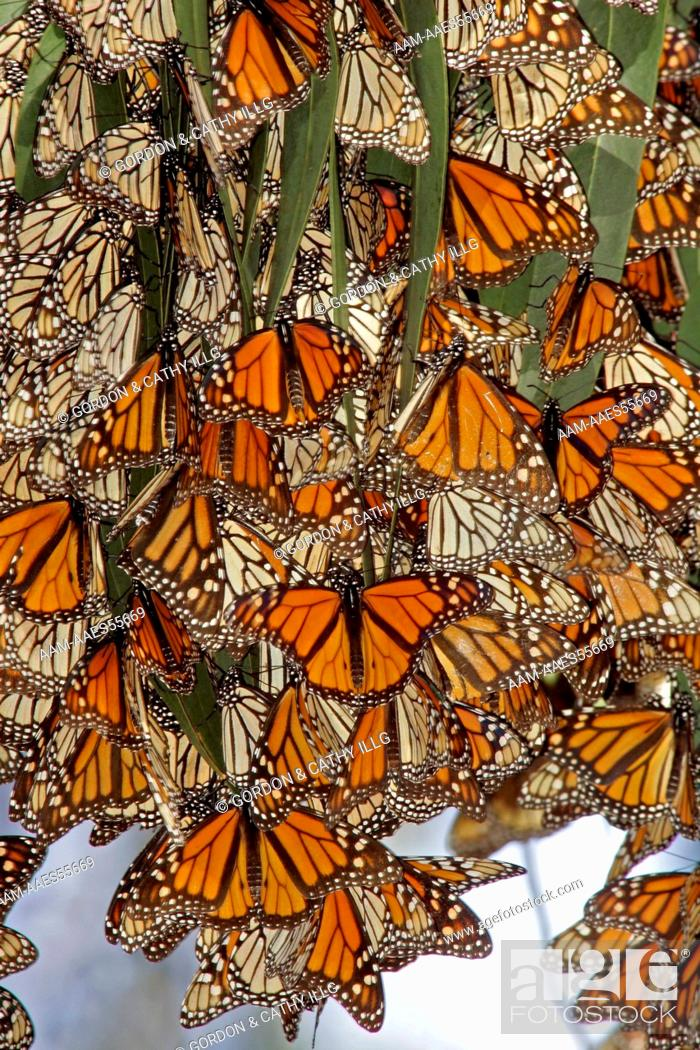 Stock Photo: Monarch butterflies (Danaus plexippus) clustering on eucalyptus trees at a winter roost, Pismo Beach, CA.