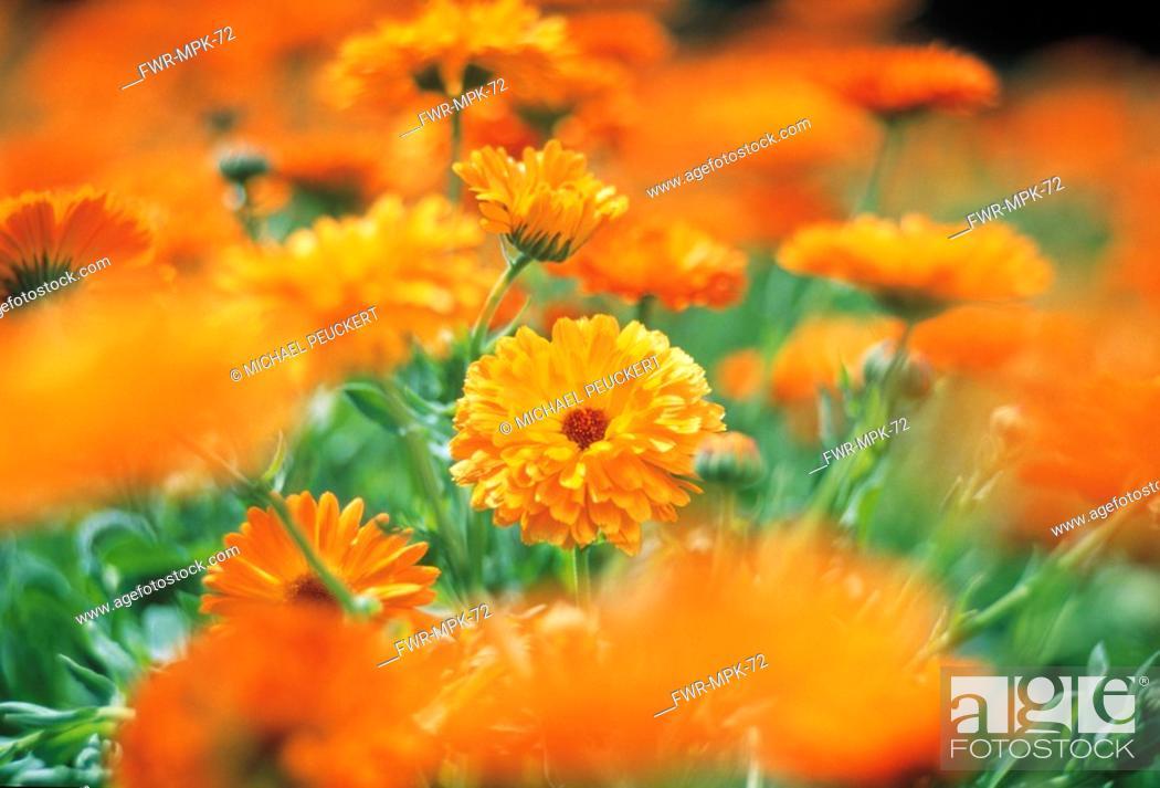 Stock Photo: Calendula officinalis, Marigold.