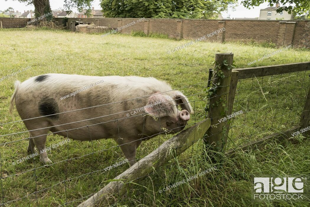 Imagen: Black spotted sow with floppy ears and upturned snout sniffing the air behind a fence in Gloucestershire, England.
