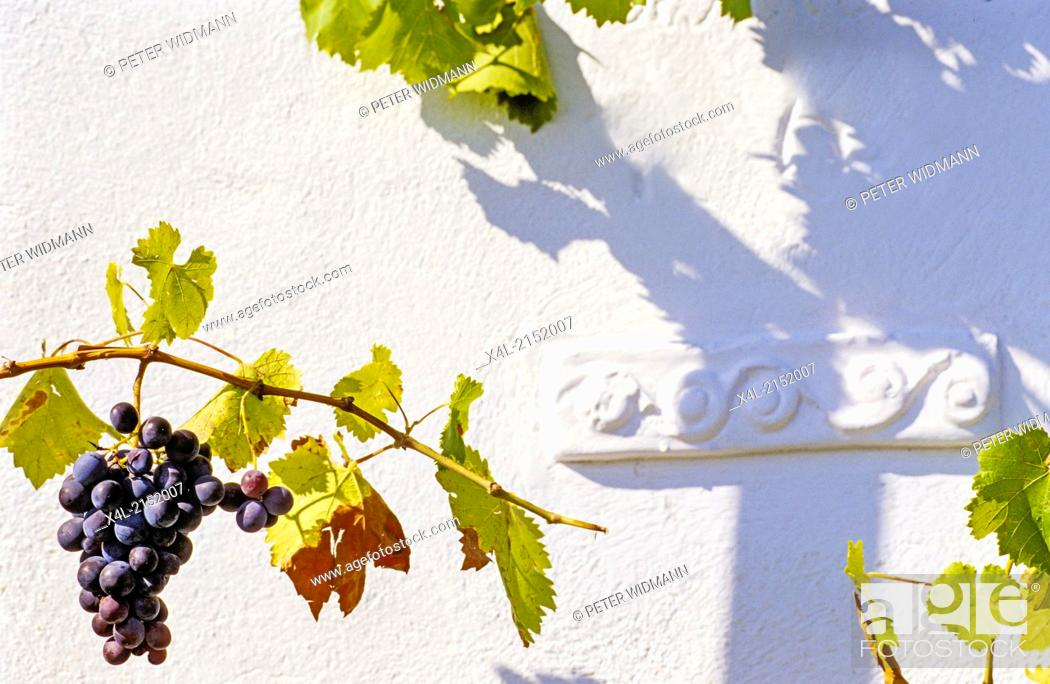 Stock Photo: grape-vine and grape.